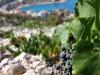 Weinrebe oberhalb von Primosten