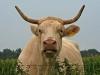 Kuh - Wachtendonk