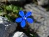 Frühlings-Enzian - Allgäuer Alpen