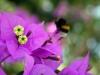 Blüten & Hummel, Insel Losinj