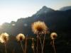 Blüten, Allgäuer Alpen