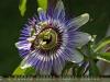 Juni - Blüte, Garten (Kempen)