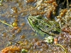 Frosch mit Mücke