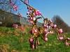 Rosa Wildkirschblüte