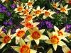 Tulpen und Krokusse