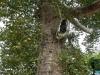 alter Ahornbaum in Tresteno