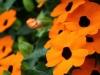 Orange Blüten - Wall, Kempen