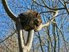 Waschbär im Warsteiner Wildpark